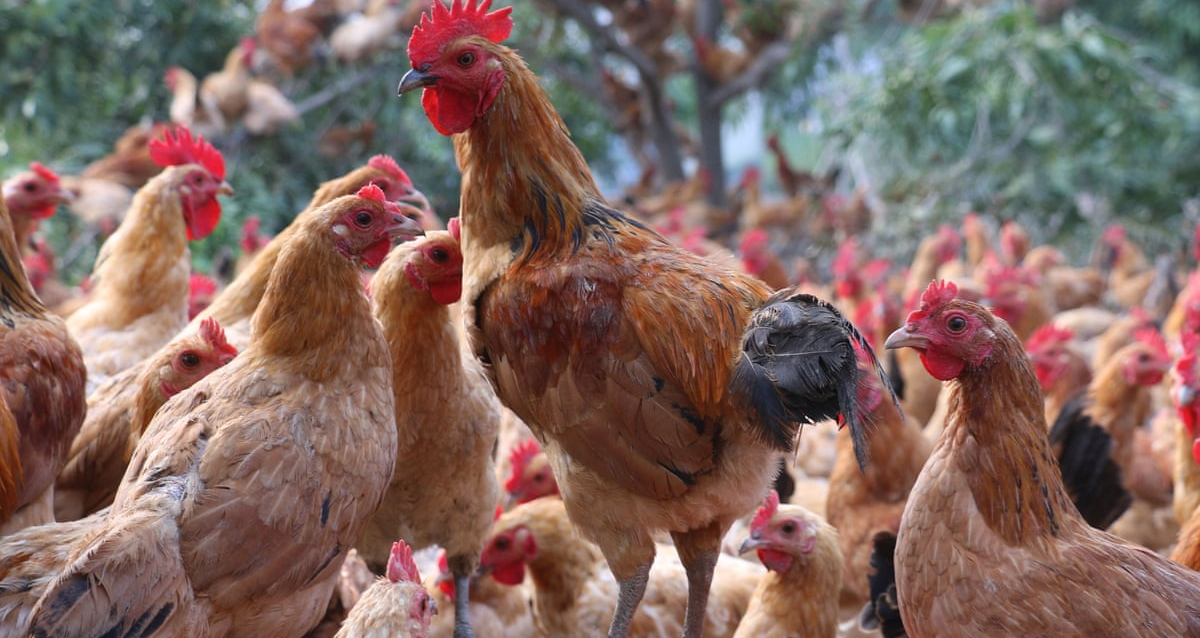 Telangana Government Introducing a new Scheme to Provide 5 Hens per House